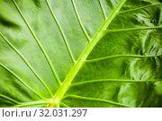 Tropical plant green leaf background. Стоковое фото, фотограф EugeneSergeev / Фотобанк Лори