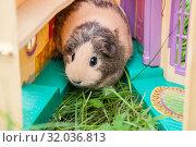 Cute Guinea pig beige and black sitting on the grass. Стоковое фото, фотограф Катерина Белякина / Фотобанк Лори