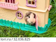 Купить «Guinea pig Peeps out of the children's house on the green grass in the summer», фото № 32036825, снято 5 августа 2019 г. (c) Катерина Белякина / Фотобанк Лори