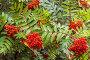 Купить «Спелые ягоды рябины на фоне зеленых листьев», фото № 32037077, снято 25 июля 2017 г. (c) Наталья Волкова / Фотобанк Лори
