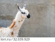 Купить «Shaggy head of a lama pet in profile, close-up on a gray wall background», фото № 32039929, снято 9 июля 2019 г. (c) Рожков Юрий / Фотобанк Лори