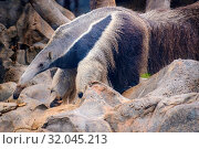 Anteater (Myrmecophaga tridactyla), also known as the ant bear. Wildlife animal. Стоковое фото, фотограф Zoonar.com/nad mah / easy Fotostock / Фотобанк Лори