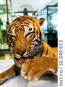 Купить «England, London, Forest Hill, Horniman Museum, Taxidermy Mount of Bengal Tiger», фото № 32049613, снято 16 февраля 2020 г. (c) age Fotostock / Фотобанк Лори