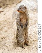 Купить «Полосатый мангуст.  Banded mongoose.», фото № 32052201, снято 10 октября 2018 г. (c) Галина Савина / Фотобанк Лори
