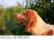 Купить «Portrait of a cute dog breed Russian hunting spaniel in nature», фото № 32059613, снято 20 июня 2019 г. (c) Яна Королёва / Фотобанк Лори