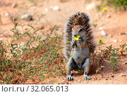 Ground squirrel eating a flower at kgalagadi. Стоковое фото, фотограф Zoonar.com/matthieu gallet / age Fotostock / Фотобанк Лори