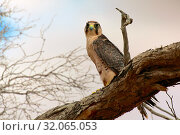 Lanner falcon at kgalagadi national park. Стоковое фото, фотограф Zoonar.com/matthieu gallet / age Fotostock / Фотобанк Лори