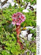 Купить «Sempervivum caucasicum Rupr. ex Boiss. (семейство Crassulaceae), Молодило кавказское в горах Абхазии», фото № 32068697, снято 5 августа 2019 г. (c) Овчинникова Ирина / Фотобанк Лори