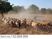 Spain, Mallorca - Flock of sheep on a pasture in Cas Concos (2018 год). Редакционное фото, агентство Caro Photoagency / Фотобанк Лори