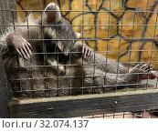 Купить «Печальный енот-полоскун в клетке тюрьма для животных», фото № 32074137, снято 14 августа 2019 г. (c) Кузнецов Максим / Фотобанк Лори
