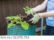 Купить «Hands dressed rubber gloves holding green seedling for setting in soil in steel barrel, close up view», фото № 32075753, снято 20 июля 2019 г. (c) Кекяляйнен Андрей / Фотобанк Лори