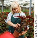 Купить «Mature female gardener working with begonia plants in pots in greenhouse», фото № 32076329, снято 20 августа 2018 г. (c) Яков Филимонов / Фотобанк Лори