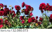 Купить «Георгины в саду (лат. Dаhlia)», видеоролик № 32080073, снято 24 августа 2019 г. (c) Ольга Сейфутдинова / Фотобанк Лори