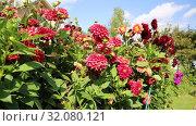 Купить «Красные георгины в саду (лат. Dаhlia)», видеоролик № 32080121, снято 24 августа 2019 г. (c) Ольга Сейфутдинова / Фотобанк Лори