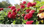 Купить «Красные георгины в саду (лат. Dаhlia)», видеоролик № 32080125, снято 24 августа 2019 г. (c) Ольга Сейфутдинова / Фотобанк Лори