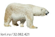 Купить «Polar bear on white background», фото № 32082421, снято 7 декабря 2019 г. (c) Яков Филимонов / Фотобанк Лори
