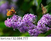 Душистая сирень и бабочка репейница. Vanessa cardui and lilac. Стоковое фото, фотограф Павел Блашкин / Фотобанк Лори