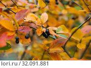 Купить «Ripe chokeberry on autumn bush.», фото № 32091881, снято 21 сентября 2019 г. (c) Дарья Филимонова / Фотобанк Лори
