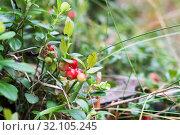 Кустик бруснчника с ягодами брусники растет в лесу. Стоковое фото, фотограф Кузин Алексей / Фотобанк Лори