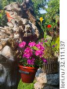 Пеларгония зональная Pelargonium zonale Willd. Стоковое фото, фотограф Марина Володько / Фотобанк Лори