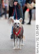 Купить «Chinese Crested Dog, Canis lupus familiaris, on leash wearing red collar on a city walk.», фото № 32120049, снято 10 июля 2020 г. (c) easy Fotostock / Фотобанк Лори