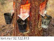 Купить «Extraction of resin in pines, Natural Park at sunny day», фото № 32122813, снято 25 февраля 2020 г. (c) Яков Филимонов / Фотобанк Лори