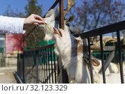 Рука кормит соломкой белую козу итальянской породы Гиргентана (Capra aegagrus hircus) с красивыми витыми рогами - потомок дикого винторогого козла из высокогорного Афганистана. Сельскохозяйственный двор. Стоковое фото, фотограф Наталья Гармашева / Фотобанк Лори