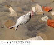 Купить «Мертвая рыба лежит среди битых кирпичей на песке», фото № 32126293, снято 29 июня 2009 г. (c) Ирина Борсученко / Фотобанк Лори