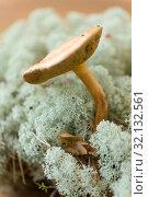 Купить «suillus bovinus mushroom in reindeer lichen moss», фото № 32132561, снято 13 сентября 2018 г. (c) Syda Productions / Фотобанк Лори