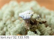 Купить «hydnellum fungus on reindeer lichen moss», фото № 32133105, снято 13 сентября 2018 г. (c) Syda Productions / Фотобанк Лори