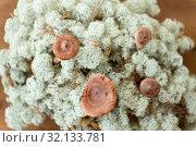 Купить «lactarius rufus mushrooms in reindeer lichen moss», фото № 32133781, снято 13 сентября 2018 г. (c) Syda Productions / Фотобанк Лори