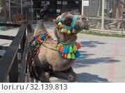 Верблюд на котором можно прокатиться в зоопарке Бахчисарайского парка миниатюр, Крым (2019 год). Редакционное фото, фотограф Николай Мухорин / Фотобанк Лори