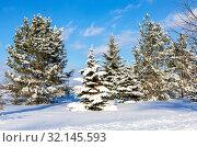 Купить «Evergreen trees covered with hoarfrost and snow», фото № 32145593, снято 20 января 2019 г. (c) FotograFF / Фотобанк Лори