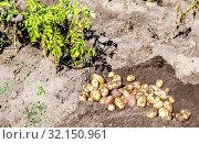 Купить «Freshly dug organic potatoes of new harvest», фото № 32150961, снято 24 августа 2018 г. (c) FotograFF / Фотобанк Лори