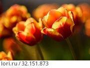 Жёлто красные тюльпаны освещённые ярким солнцем. Стоковое фото, фотограф Игорь Низов / Фотобанк Лори