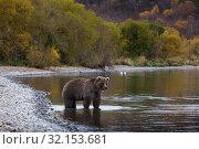 Купить «Камчатский бурый медведь», фото № 32153681, снято 15 октября 2014 г. (c) Сергей Краснощеков / Фотобанк Лори