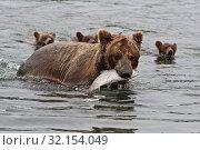 Камчатский бурый медведь. Стоковое фото, фотограф Сергей Краснощеков / Фотобанк Лори