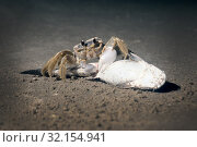 Купить «Atlantic ghost crab (Ocypode quadrata)   on a sandy beach eating fish. Night shooting», фото № 32154941, снято 17 августа 2019 г. (c) Ирина Кожемякина / Фотобанк Лори