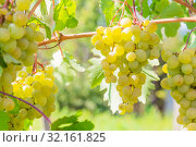 Купить «Gardening, agriculture, agronomy, fruit and berry cultivation. Harvest season. Viticulture. Healthy food. Ripe bunches of yellow white grape fruit hanging on a vine on a bush in a vineyard garden on a warm sunny day», фото № 32161825, снято 7 сентября 2019 г. (c) Светлана Евграфова / Фотобанк Лори