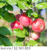 Gardening, agriculture, agronomy, fruit and berry cultivation. Harvest season. Garden fruit tree apple tree. Healthy diet food. Ripe fruits of red apples on a branch in the garden on a warm sunny day. Стоковое фото, фотограф Светлана Евграфова / Фотобанк Лори