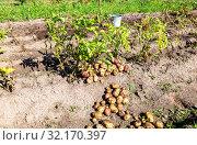 Купить «Freshly dug organic potatoes of new harvest», фото № 32170397, снято 24 августа 2018 г. (c) FotograFF / Фотобанк Лори