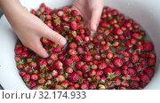 Купить «Child shows to the camera strawberries in his hands and put it back to water», видеоролик № 32174933, снято 11 июля 2019 г. (c) Ирина Мойсеева / Фотобанк Лори