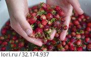 Купить «Child shows to the camera strawberries in his hands and put it back to water», видеоролик № 32174937, снято 11 июля 2019 г. (c) Ирина Мойсеева / Фотобанк Лори
