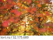 Купить «Defocused autumn background, scarlet leaves of bushes and the sun in the forest», фото № 32175689, снято 17 октября 2018 г. (c) Ольга Зиновская / Фотобанк Лори