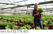 Купить «Confident experienced female farmer working in greenhouse, engaged in cultivation of fragrant organic mint», видеоролик № 32176421, снято 3 июня 2019 г. (c) Яков Филимонов / Фотобанк Лори