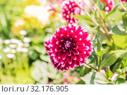 Купить «Purple dahlia flower with white tips on a flowerbed in a garden», фото № 32176905, снято 15 мая 2019 г. (c) Юлия Бабкина / Фотобанк Лори