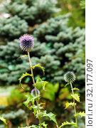 Купить «Globe thistle flowers on blurry background», фото № 32177097, снято 9 сентября 2019 г. (c) Евгений Харитонов / Фотобанк Лори