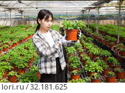 Купить «Chinese woman caring for mint plant in a greenhouse», фото № 32181625, снято 3 июня 2019 г. (c) Яков Филимонов / Фотобанк Лори