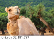 Camel against the background of the natural environment. Стоковое фото, фотограф Алексей Кузнецов / Фотобанк Лори
