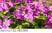 Купить «Pink decorative phlox flowers sway in the wind», видеоролик № 32185005, снято 17 сентября 2019 г. (c) FotograFF / Фотобанк Лори